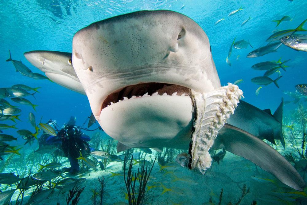 1000x667 > Tiger Shark Wallpapers