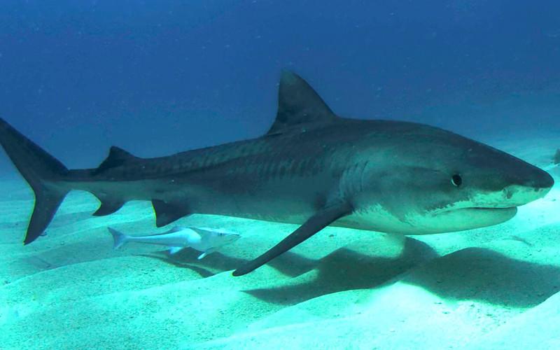 Nice Images Collection: Tiger Shark Desktop Wallpapers