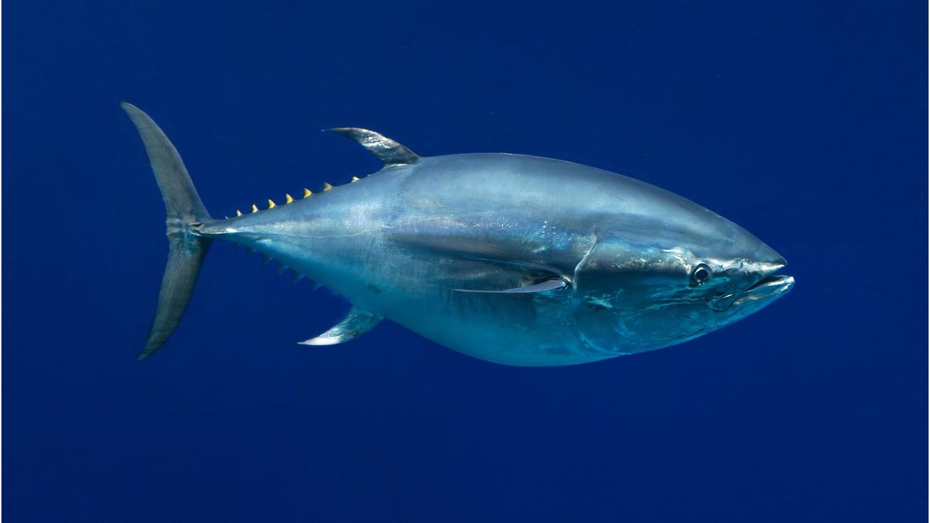 Most viewed Tuna wallpapers | 4K Wallpapers