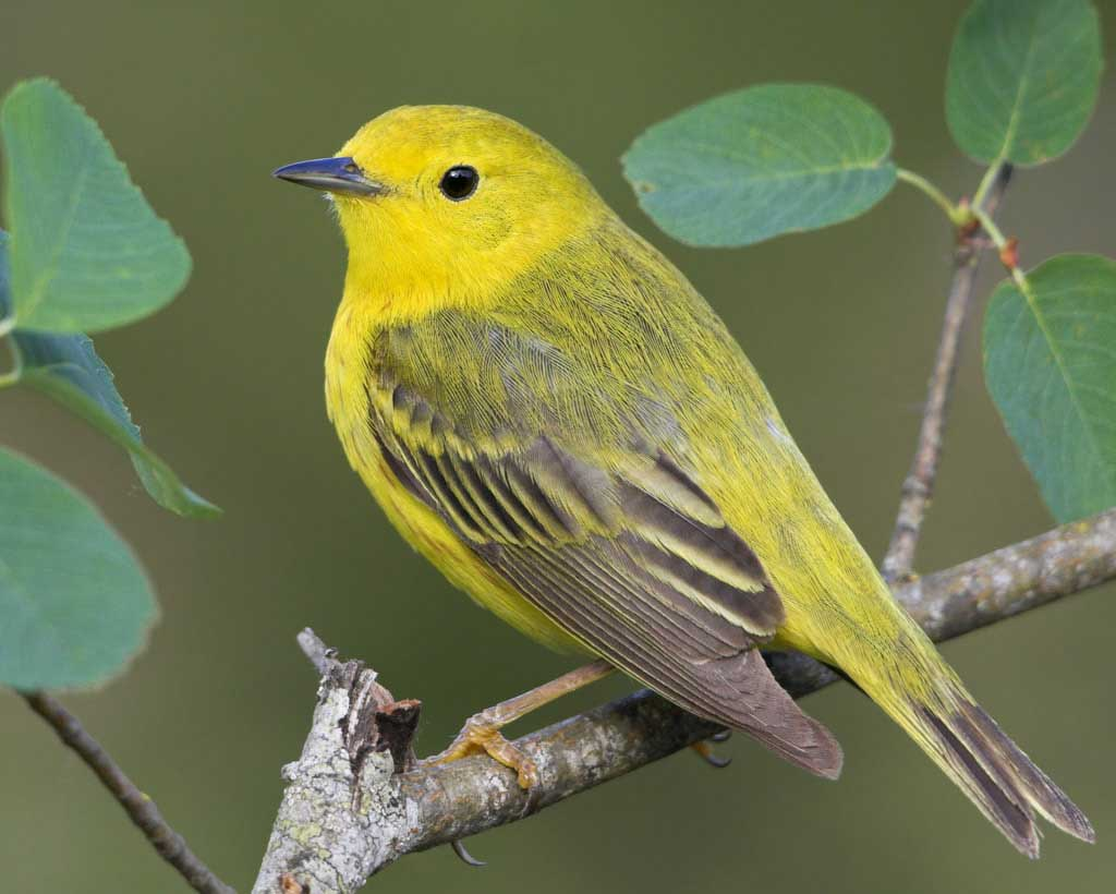HD Quality Wallpaper | Collection: Animal, 1024x820 Yellow Warbler