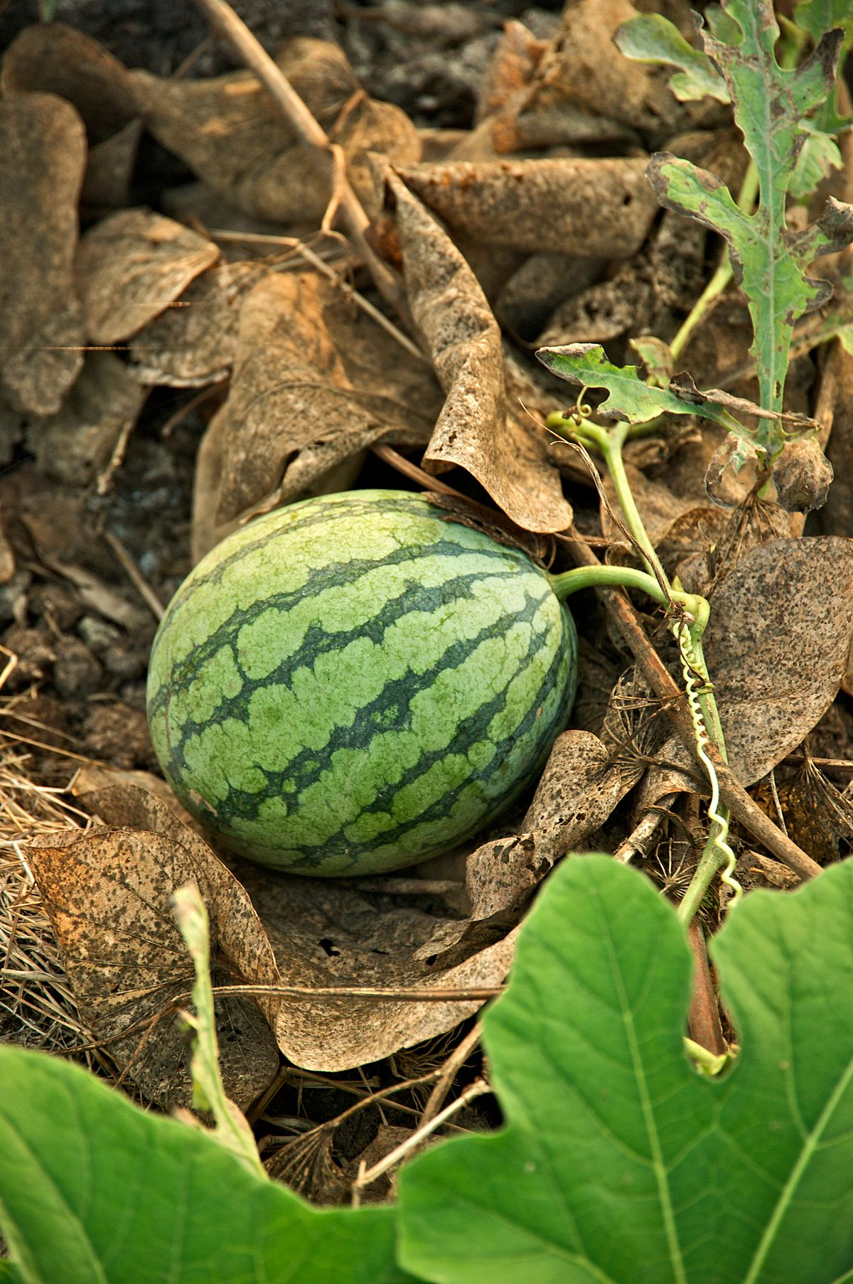 Watermelon High Quality Background on Wallpapers Vista