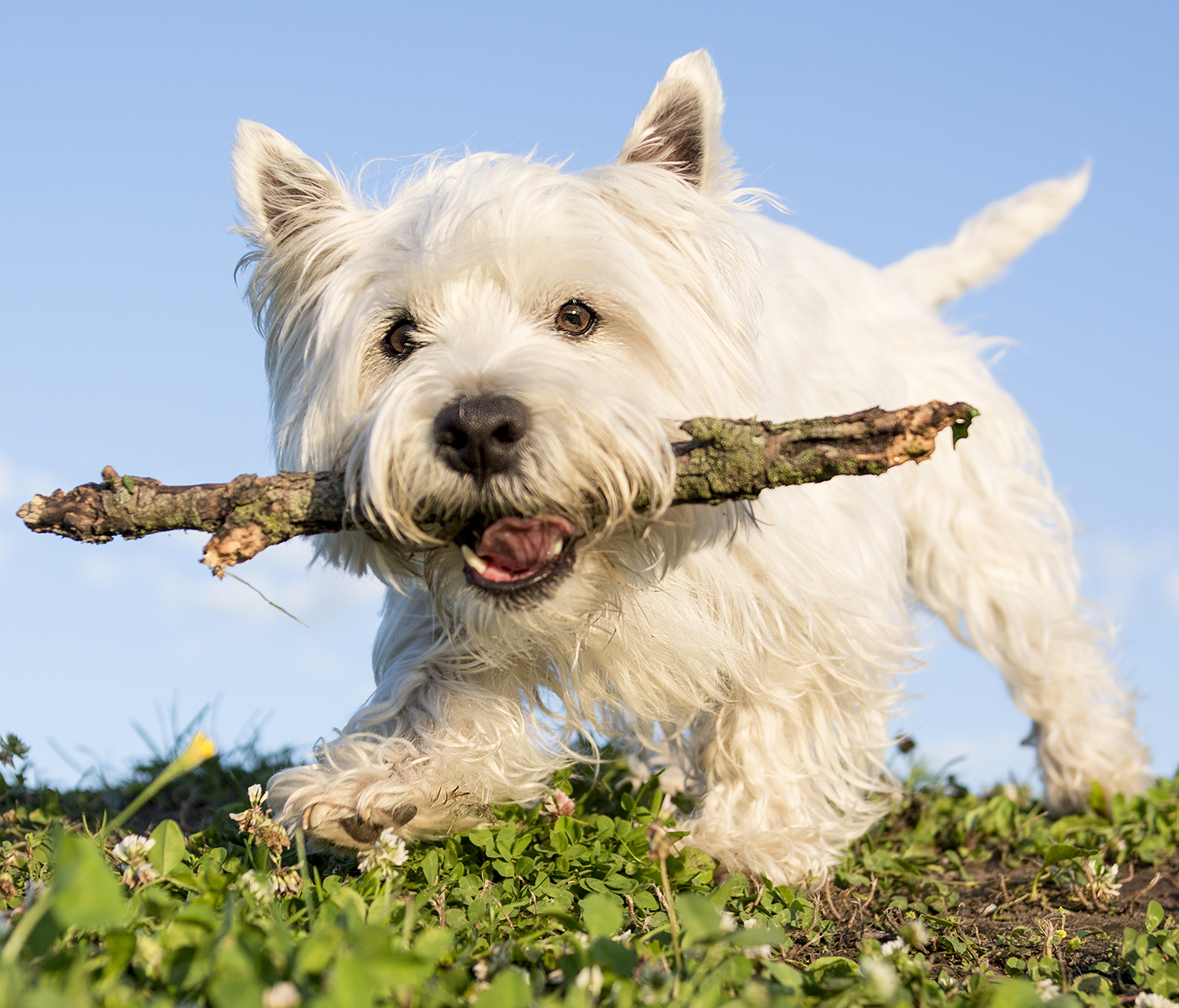 west-highland-white-terrier-4.jpg