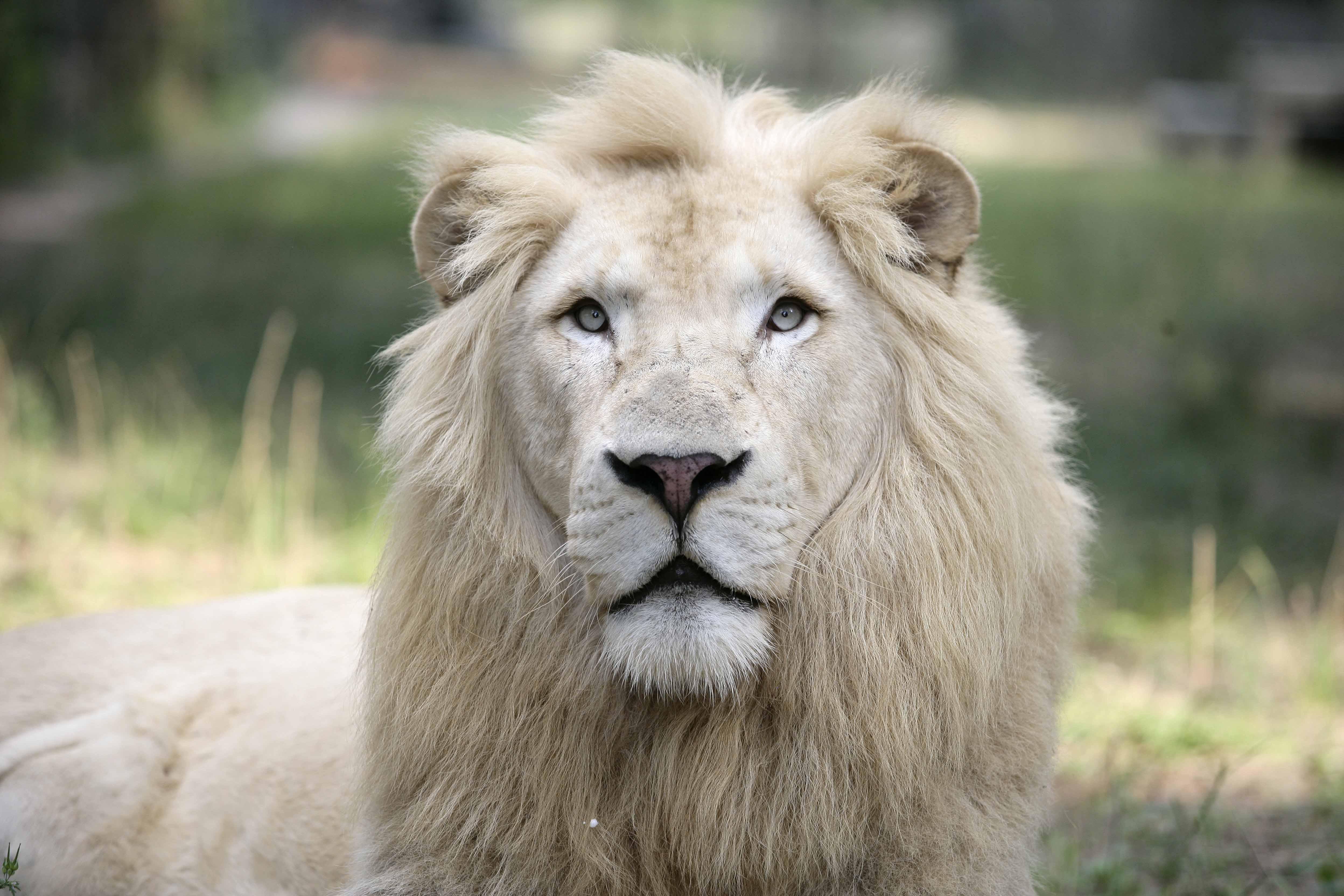 White Lion Desktop Wallpaper