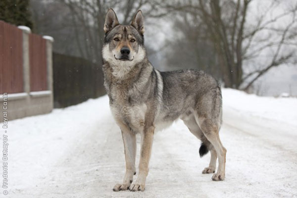 Wolfdog Pics, Animal Collection