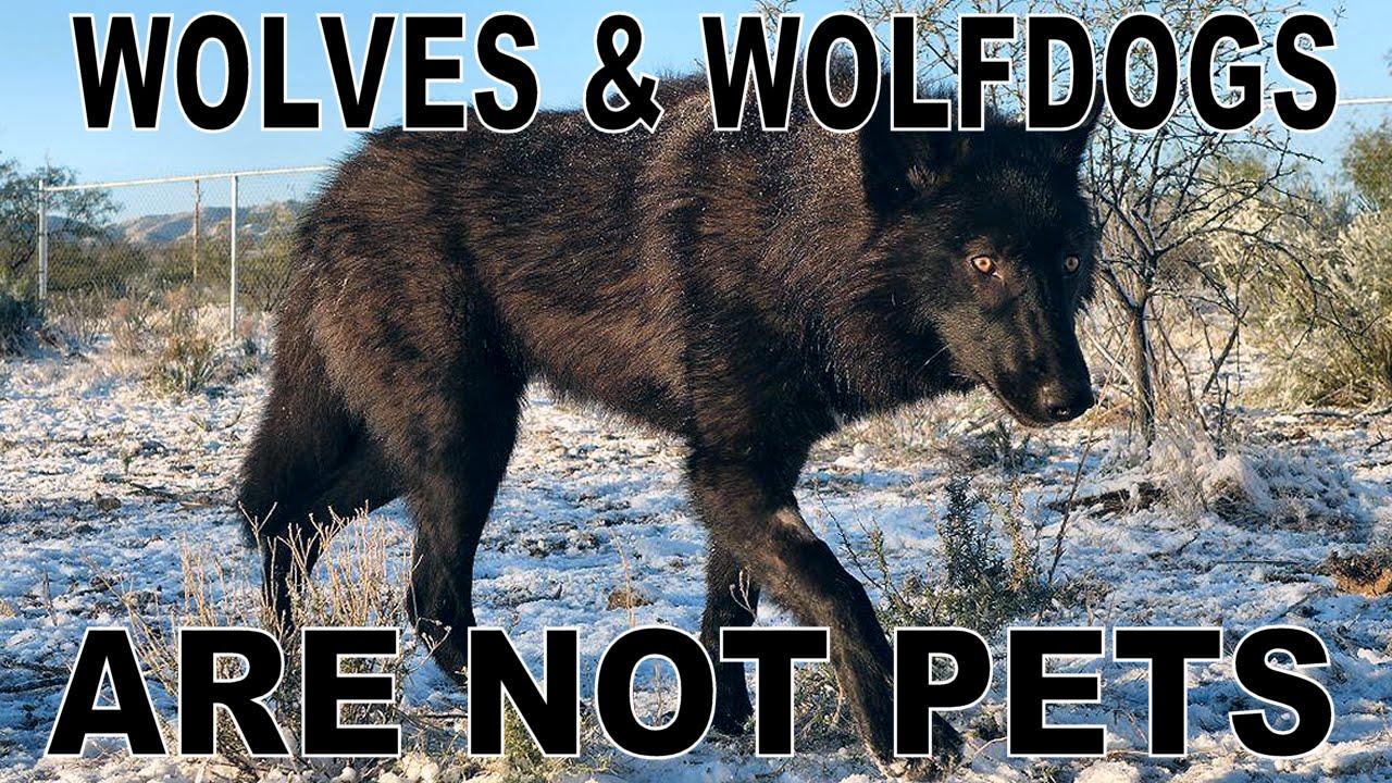 Nice wallpapers Wolfdog 1280x720px