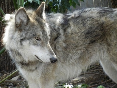 Amazing Wolfdog Pictures & Backgrounds