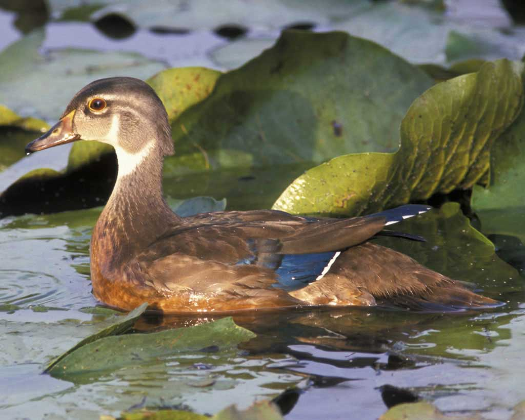 HQ Wood Duck Wallpapers | File 61.52Kb