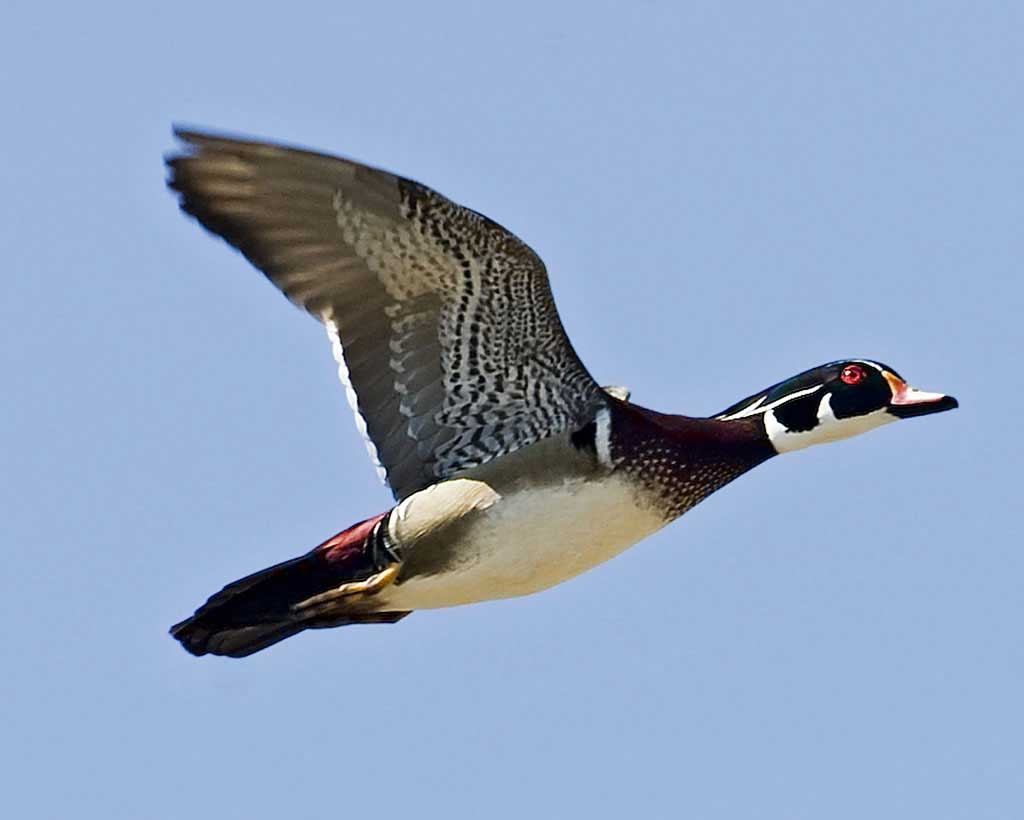 HD Quality Wallpaper | Collection: Animal, 1024x820 Wood Duck