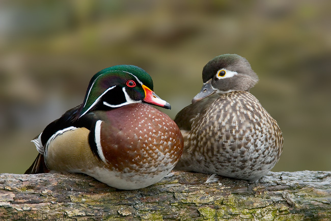 Wood Duck Pics, Animal Collection