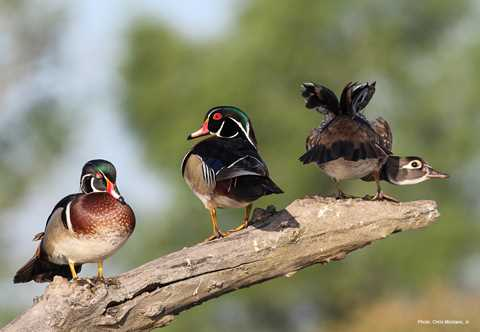 Wood Duck High Quality Background on Wallpapers Vista