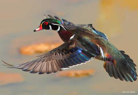 Amazing Wood Duck Pictures & Backgrounds
