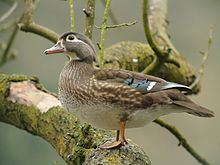 Nice wallpapers Wood Duck 220x165px