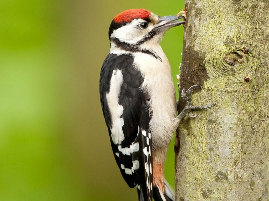1024x768 > Woodpecker Wallpapers
