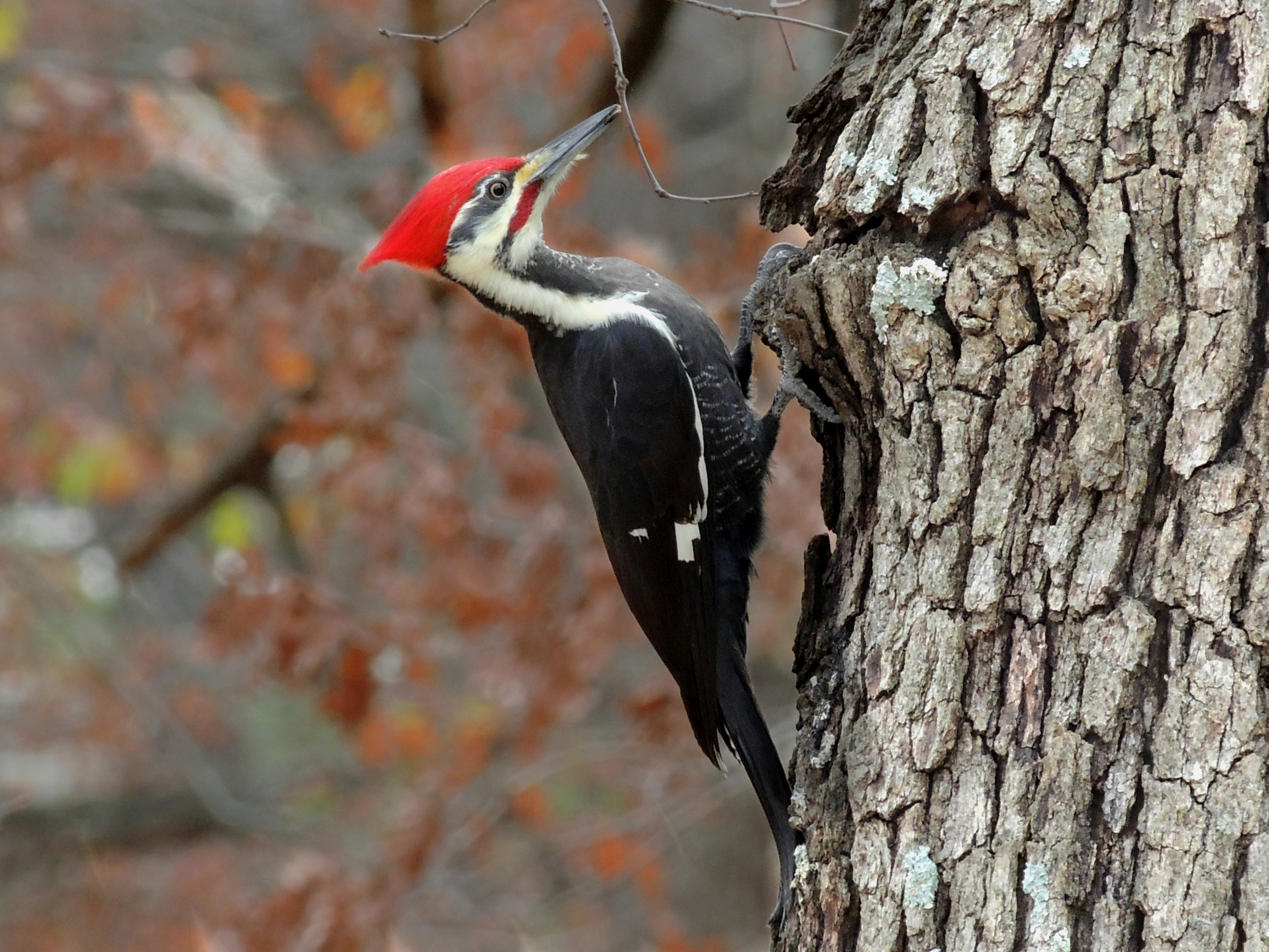 Amazing Woodpecker Pictures & Backgrounds