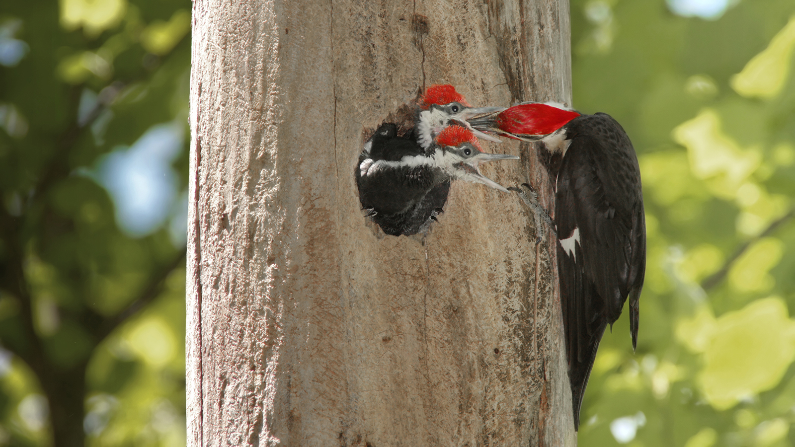 HD Quality Wallpaper | Collection: Animal, 1600x900 Woodpecker