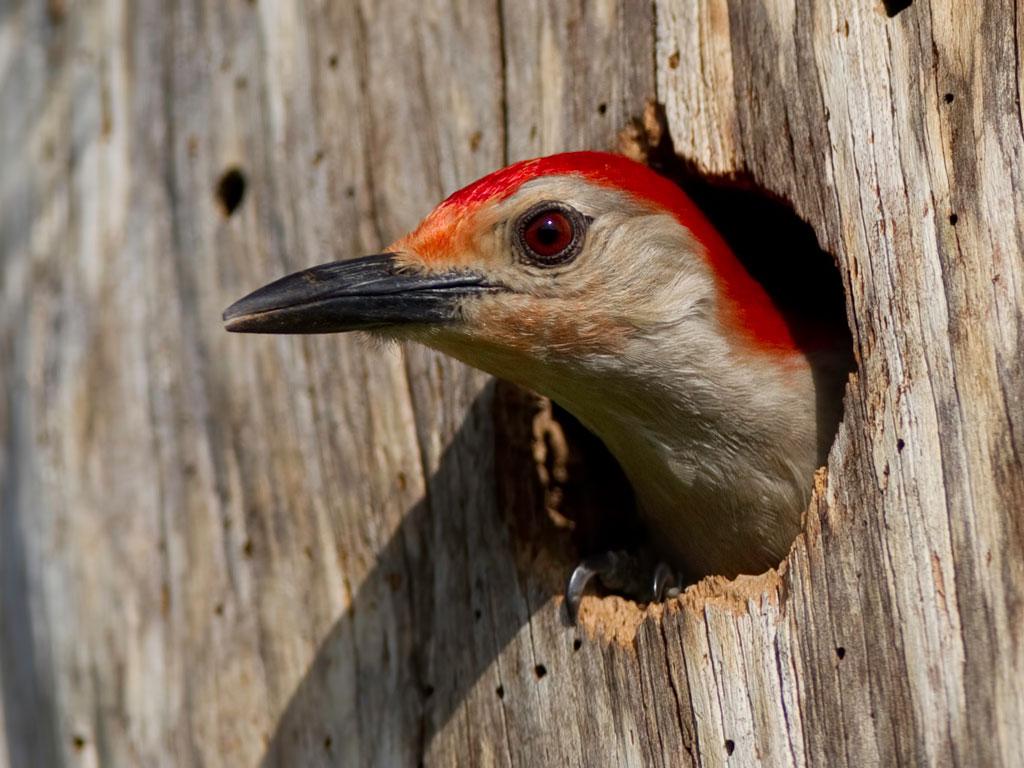 HQ Woodpecker Wallpapers | File 150.16Kb