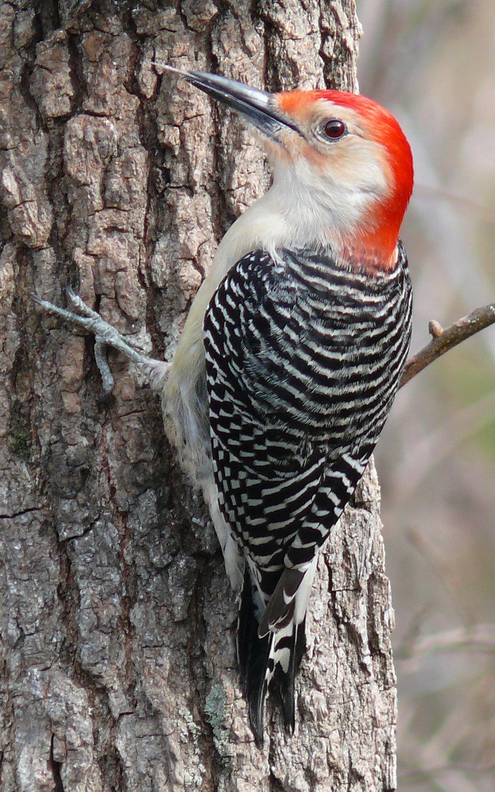1000x1600 > Woodpecker Wallpapers