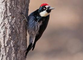 Woodpecker Pics, Animal Collection