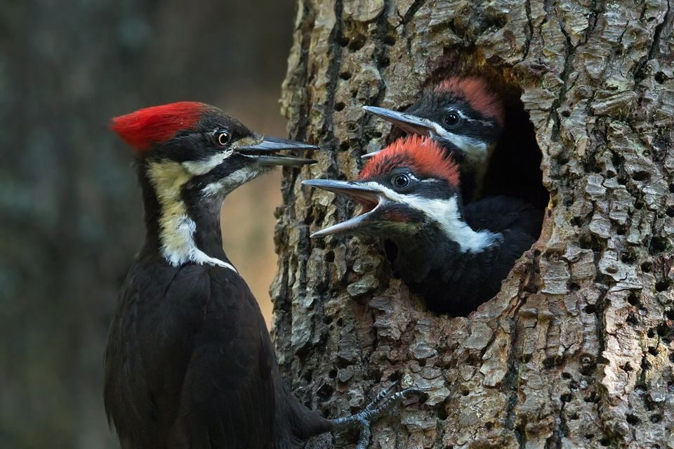 HD Quality Wallpaper | Collection: Animal, 960x639 Woodpecker