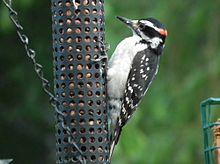 High Resolution Wallpaper | Woodpecker 220x164 px