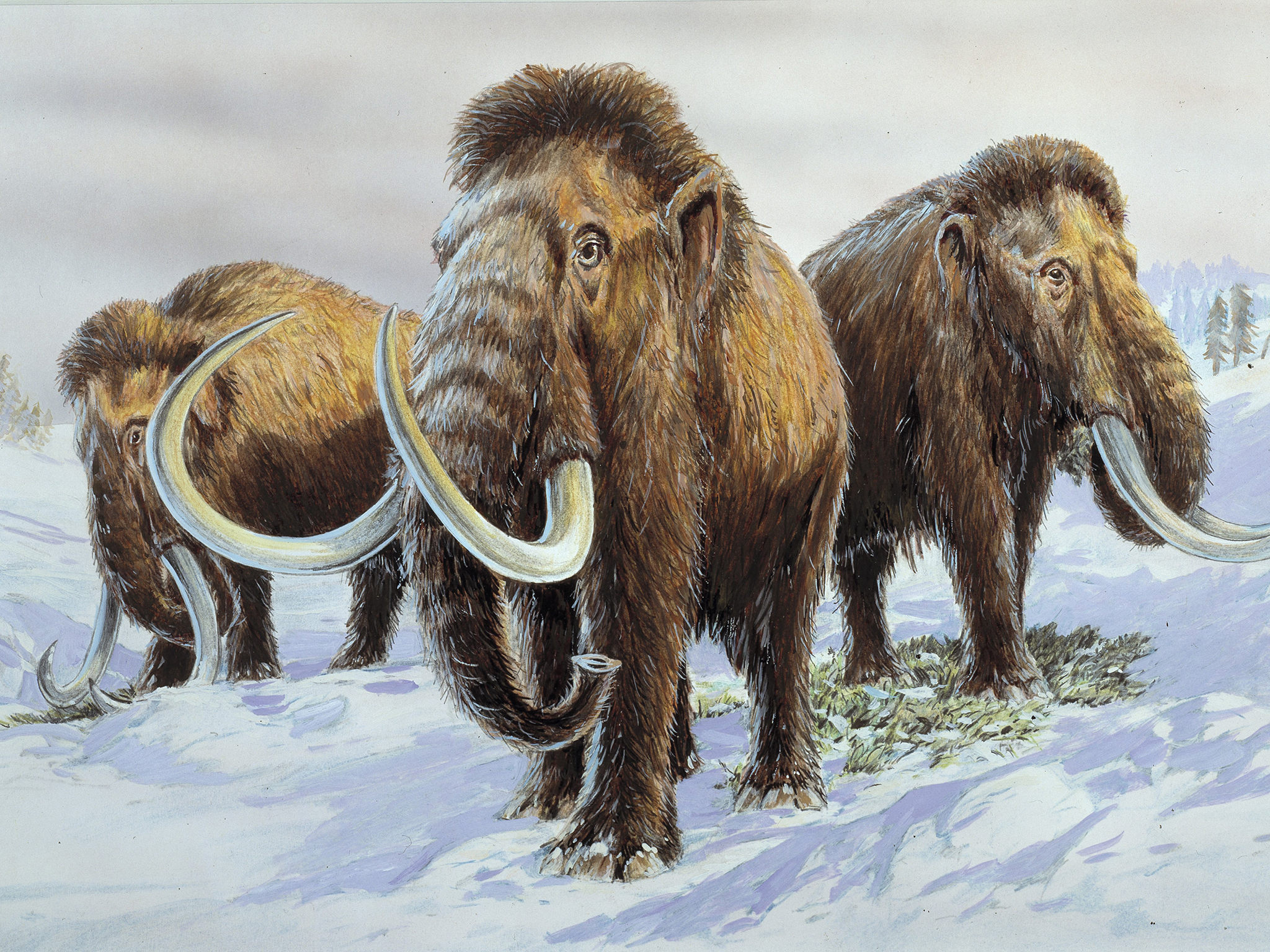 Nice Images Collection: Woolly Mammoth Desktop Wallpapers