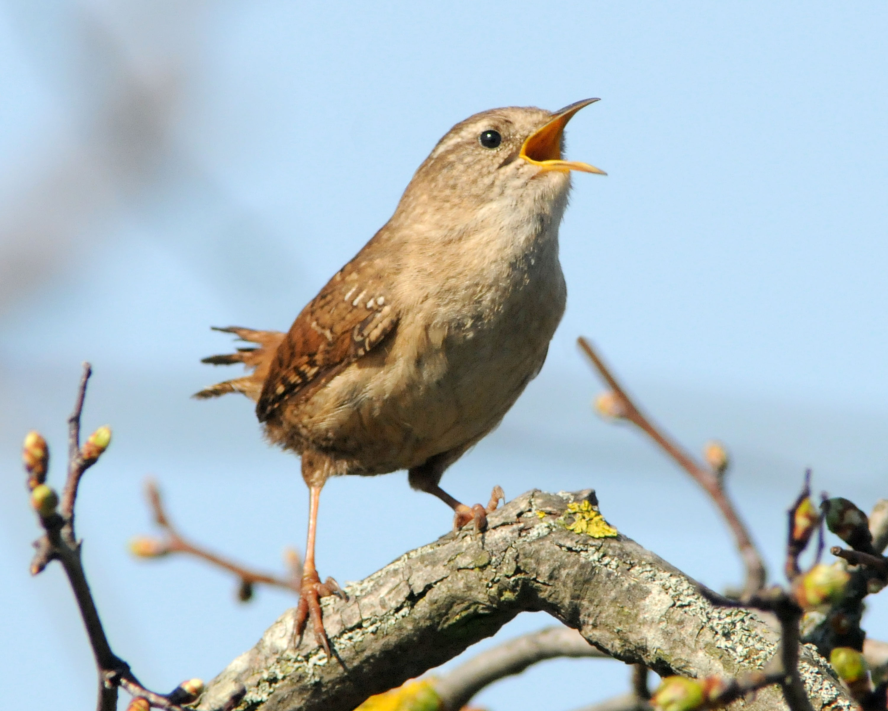 HD Quality Wallpaper | Collection: Animal, 3000x2400 Wren