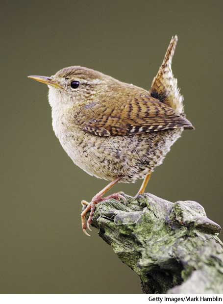 Wren High Quality Background on Wallpapers Vista
