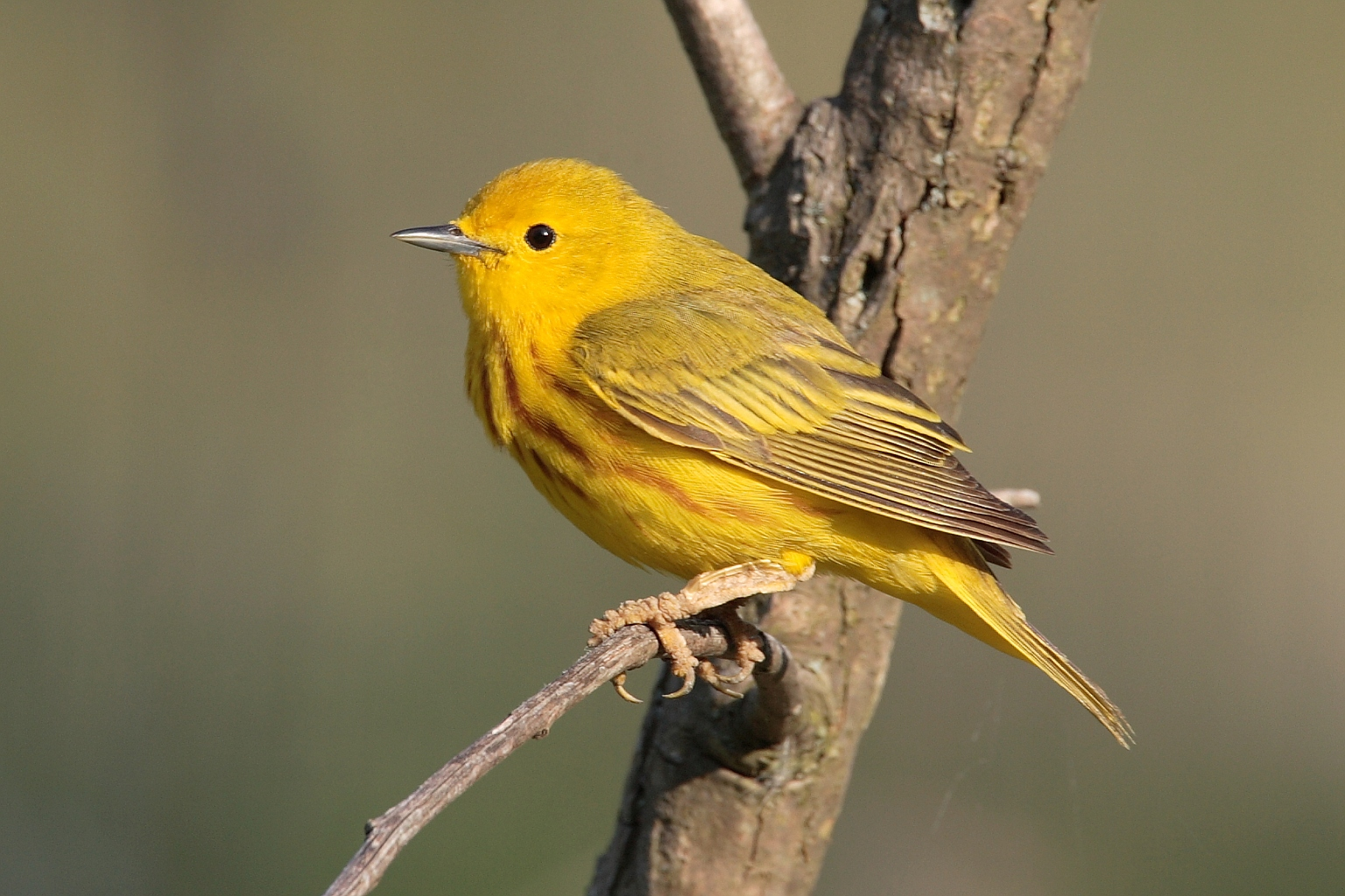Yellow Warbler Pics, Animal Collection