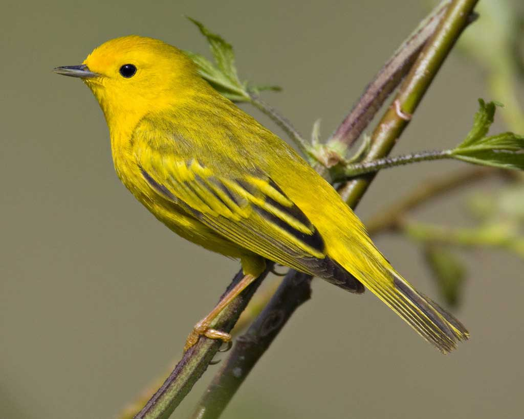 Yellow Warbler Backgrounds, Compatible - PC, Mobile, Gadgets| 1024x820 px