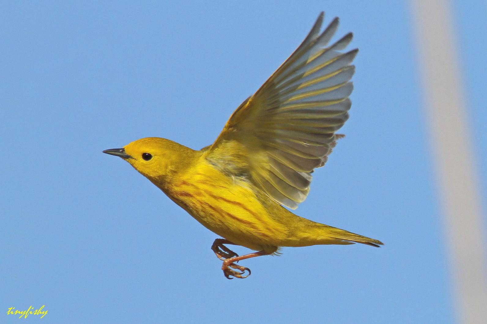 1592x1061 > Yellow Warbler Wallpapers
