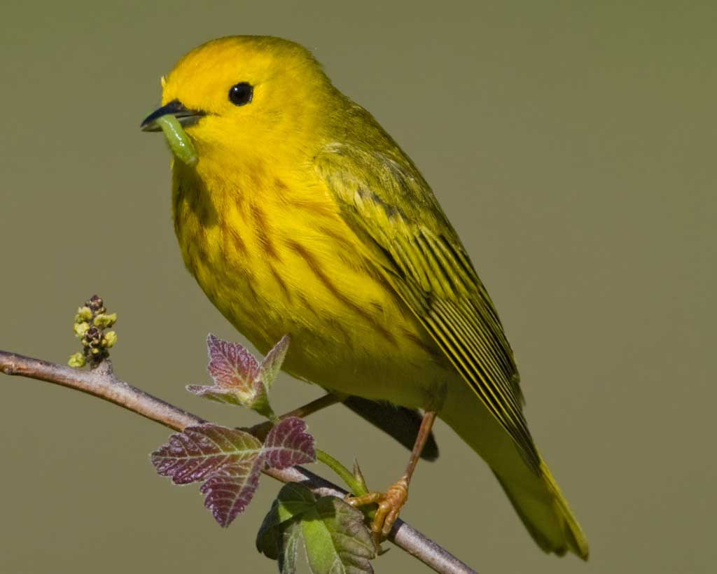 Nice Images Collection: Yellow Warbler Desktop Wallpapers