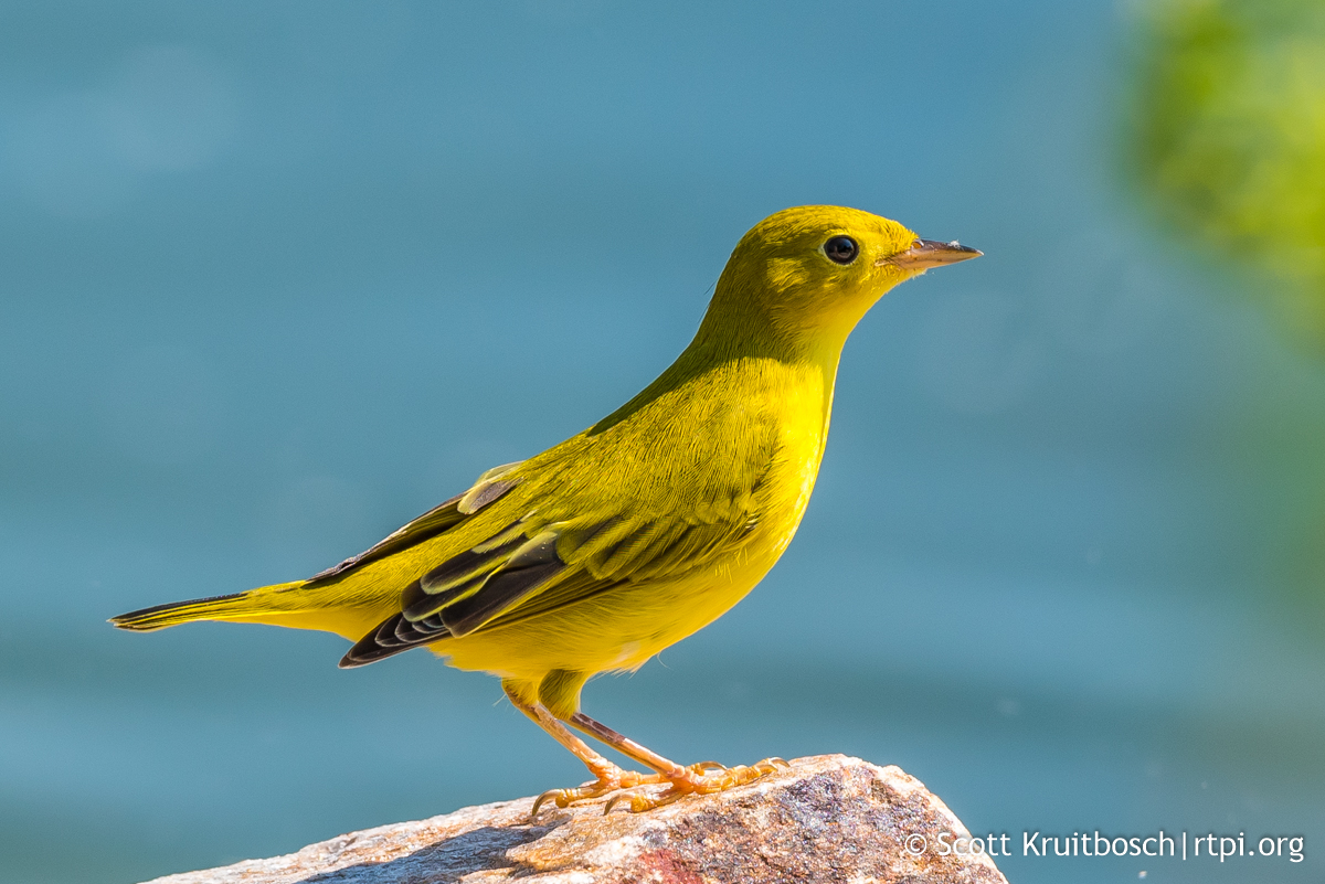 Nice wallpapers Yellow Warbler 1200x801px