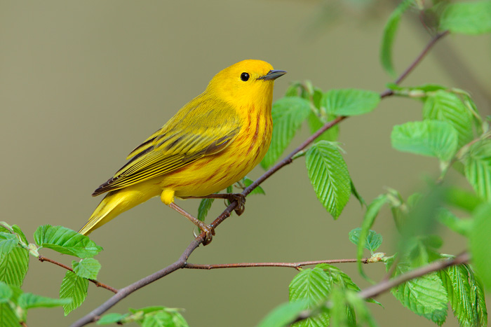 HD Quality Wallpaper | Collection: Animal, 700x467 Yellow Warbler