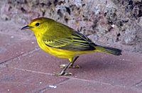 HD Quality Wallpaper | Collection: Animal, 200x131 Yellow Warbler