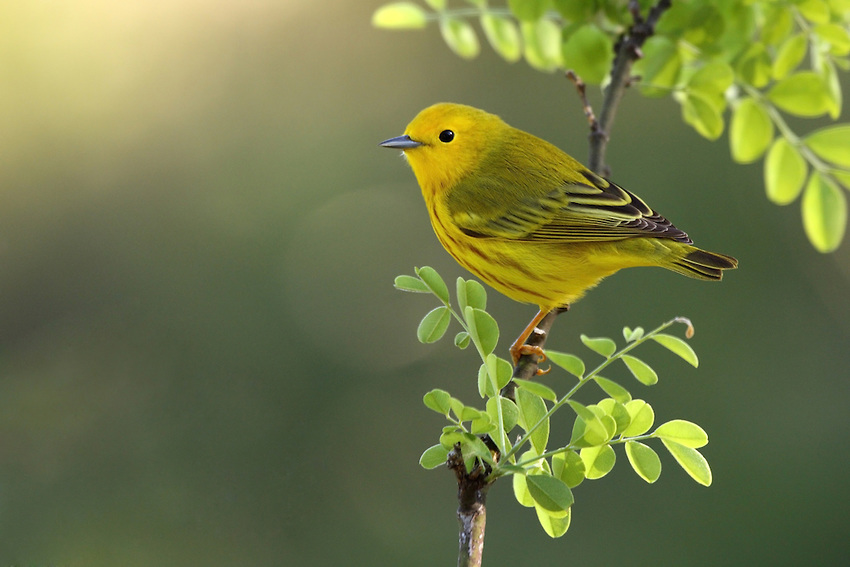 Yellow Warbler Backgrounds on Wallpapers Vista