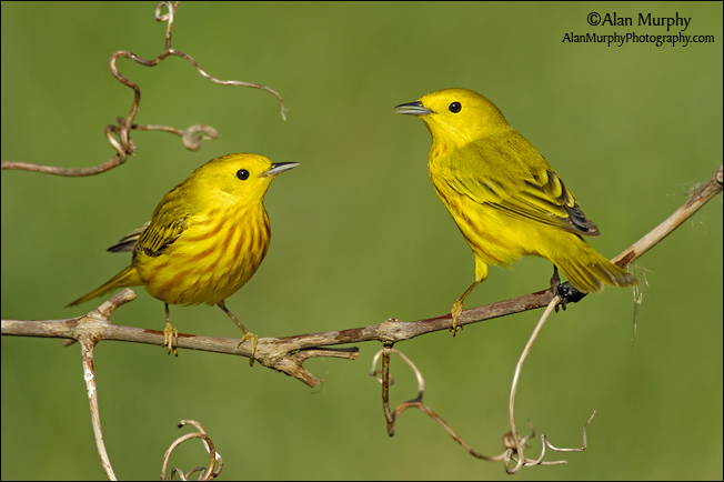 Amazing Yellow Warbler Pictures & Backgrounds