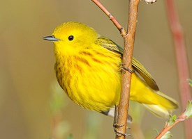 Yellow Warbler Backgrounds, Compatible - PC, Mobile, Gadgets| 275x200 px