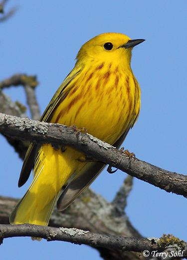 375x521 > Yellow Warbler Wallpapers