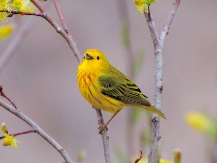 HQ Yellow Warbler Wallpapers | File 24.23Kb