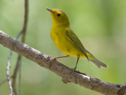 HQ Yellow Warbler Wallpapers | File 22.64Kb