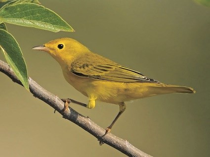 Yellow Warbler High Quality Background on Wallpapers Vista