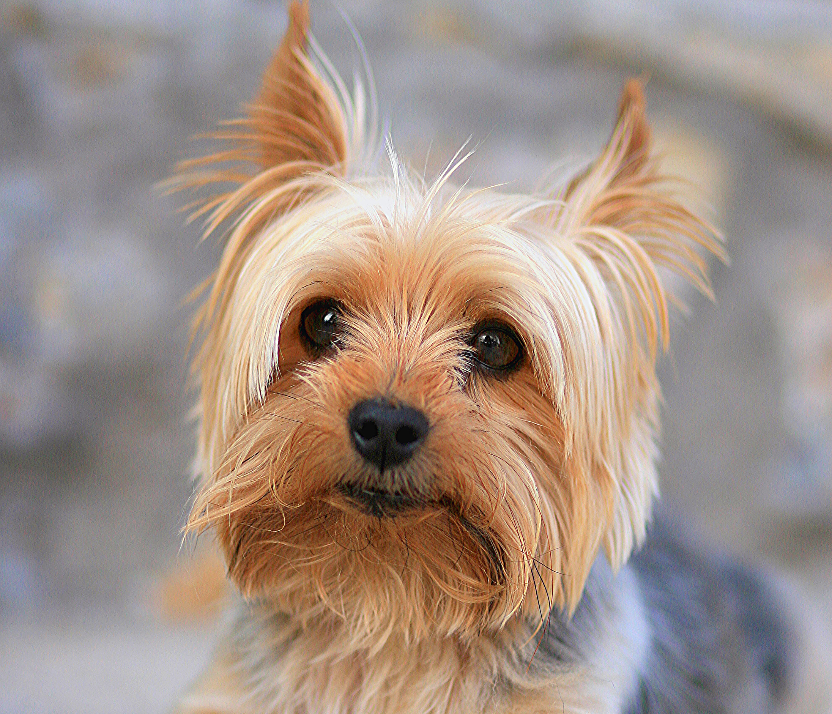 Images of Yorkshire Terrier | 2800x2403