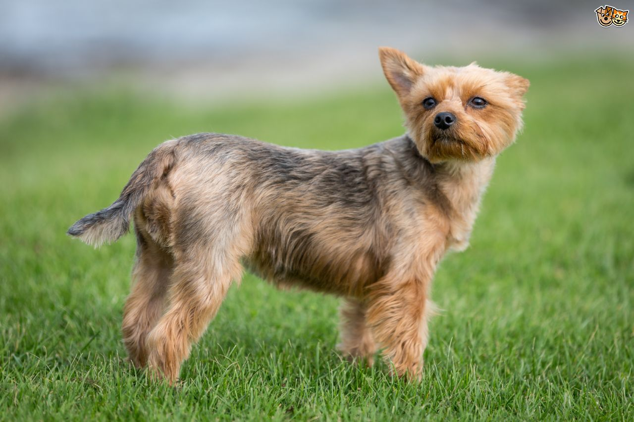 Images of Yorkshire Terrier | 1280x853