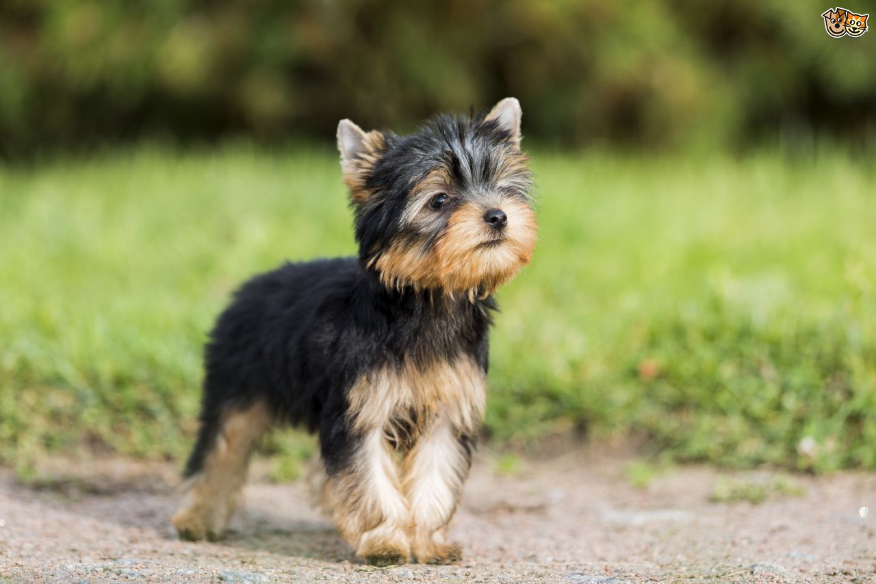 HD Quality Wallpaper | Collection: Animal, 1280x853 Yorkshire Terrier