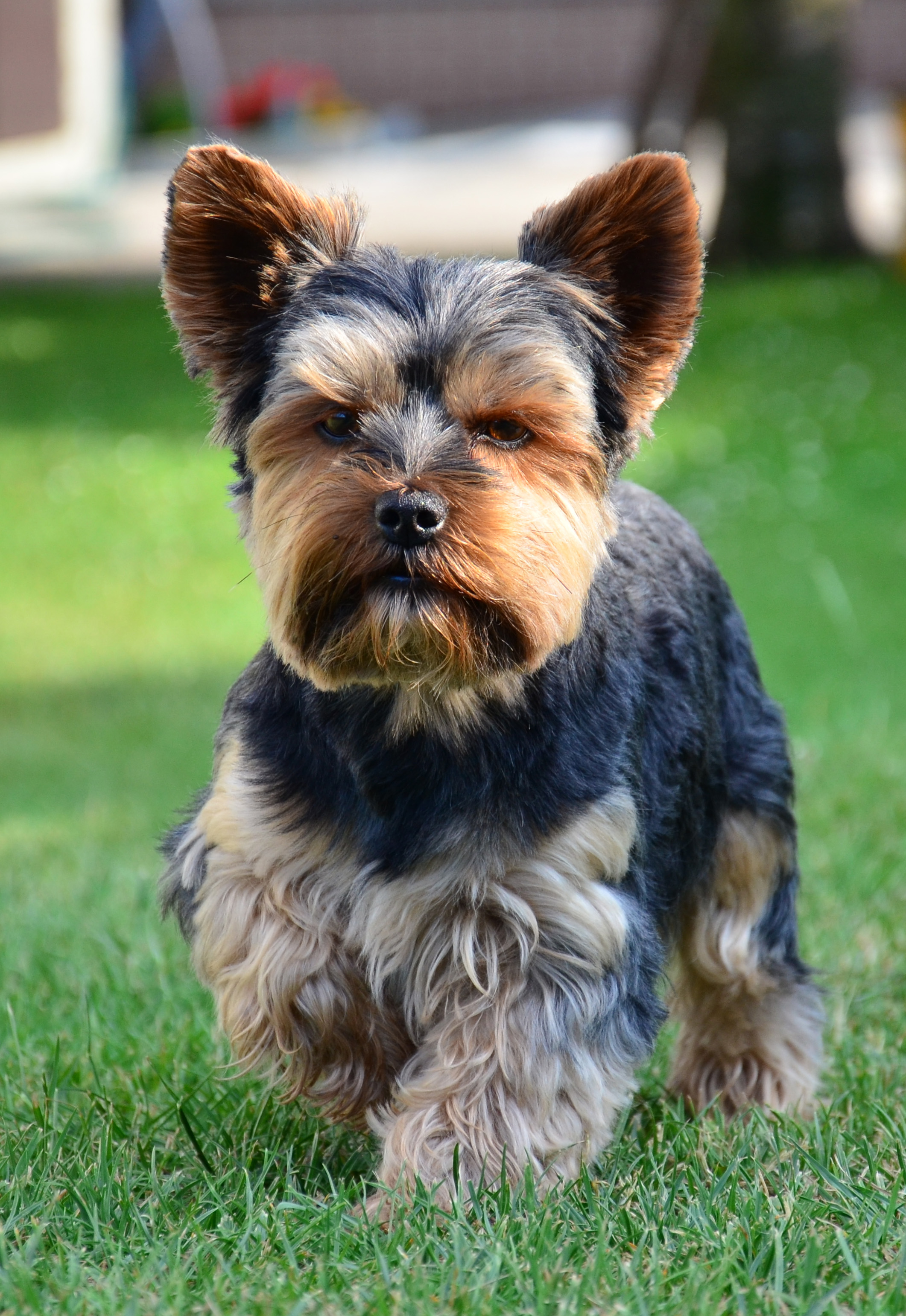 Yorkshire Terrier Backgrounds on Wallpapers Vista