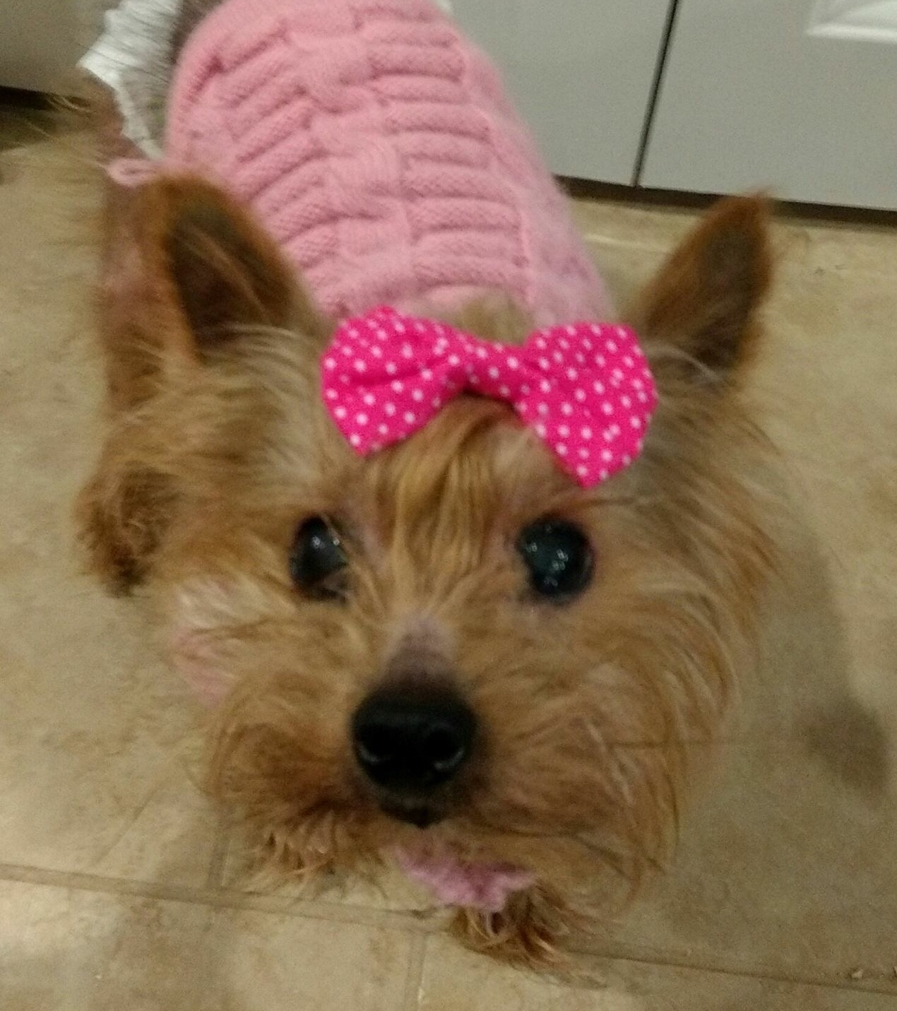 Nice wallpapers Yorkshire Terrier 1270x1431px