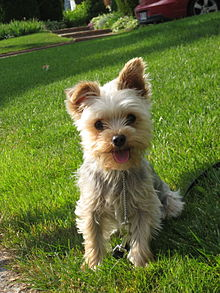 Images of Yorkshire Terrier | 220x293
