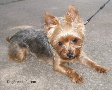 Yorkshire Terrier High Quality Background on Wallpapers Vista