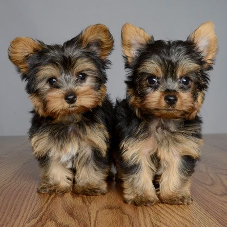 Images of Yorkshire Terrier | 465x465