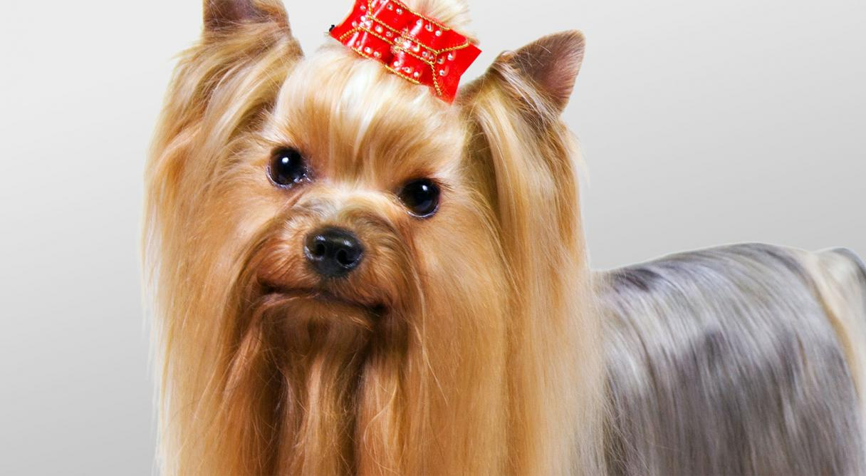 Amazing Yorkshire Terrier Pictures & Backgrounds